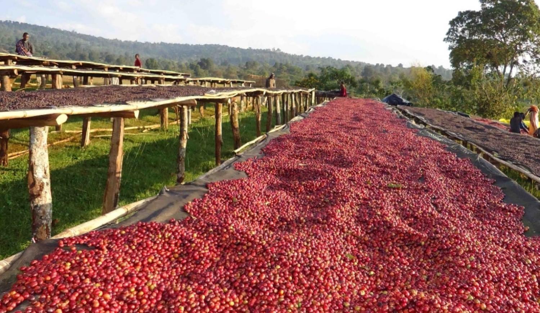 Сушка кофейных ягод на кроватях