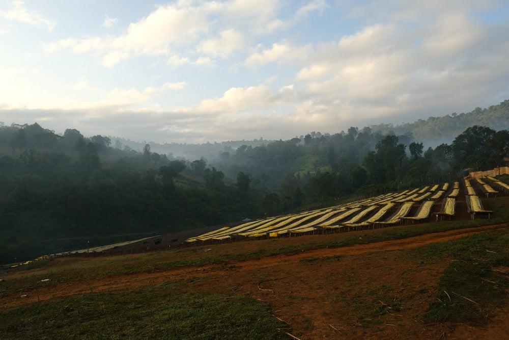 Выращивание кофе